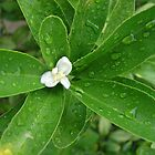 White Flower after Rain by Ali Choudhry