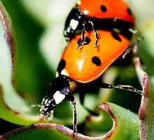 Making Ladybugs by Betsy  Seeton