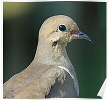 Mourning Dove portrait Poster