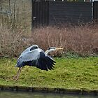 Heron in flight  by Johanna26