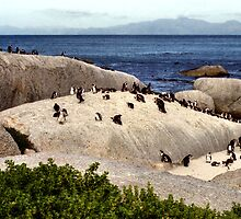 South African Penguins at Boulder Beach by Carole-Anne
