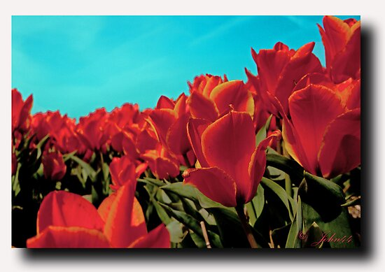 The Dutch tulip virus by John44