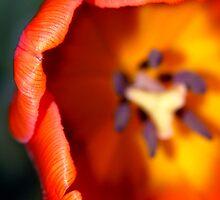 Dazzling Orange Tulip by SerenaB