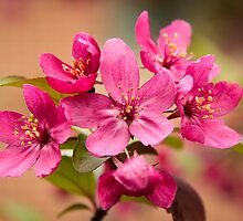 Crab Apple Blossoms by Robert Kelch, M.D.