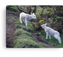 Lambs Puppy Food - Donegal Ireland  Canvas Print