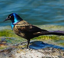 Grackle  by Elaine  Manley