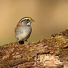 White-throated Sparrow by Bill McMullen