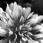 Tones Of Dahlia by Joy Watson