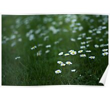 Little white daisies Poster