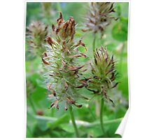 Crimson Clover Gone To  Seed Poster