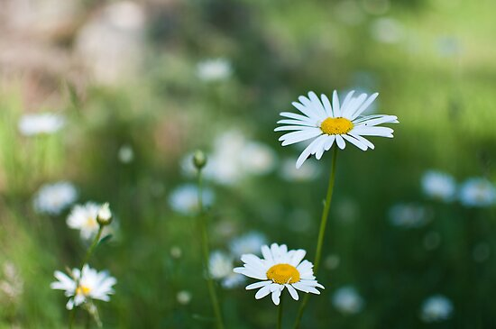 Daisies by Anete Bauere