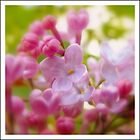 pink lilac flowers in spring by andrea-ioana