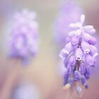 Muscari by PhotoTamara