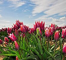 Skagit Valley Tulips by Robin Nellist
