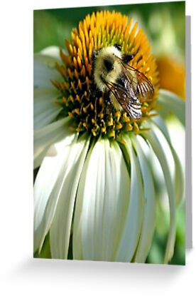 Bumble Bee on Echinacea by Vickie Emms