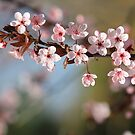 Blossom  by NewfieKeith
