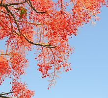Flame Tree by TheaShutterbug