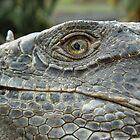 Bearded Lizard by Guatemwc