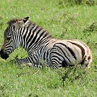 baby zebra by LSPJS