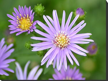 Purple Daisies by TheaShutterbug