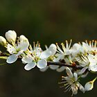 Blackthorn Blossoms by karina5