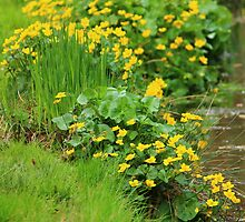 Marsh Marigold by karina5