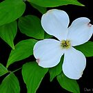 Dogwood 5.....2012 by DaveHrusecky
