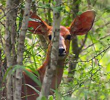 All Ears by Dan MacKenzie