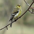 Female American Goldfinch by Tracy Faught