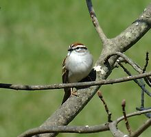 Chipping Sparrow by Tracy Faught