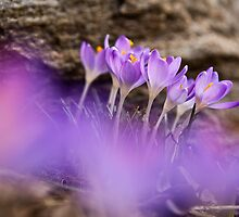 Crocuses by Tiina Gill