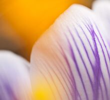 Yellow sun of the crocus by Tiina Gill