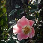 AN ENGLISH TEA ROSE by Doria Fochi
