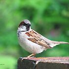 Williamsburg House Sparrow by Jennie L. Richards