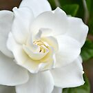 White Gardenia by TheaShutterbug