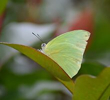 Lemon Migrant Butterfly by TheaShutterbug