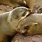 &#x27;Cuddling Cousins&#x27; - Cape Fur Seals  by Carole-Anne