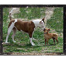 Pitbull meets Chihuahua  Photographic Print