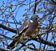 Wood Pigeon.. by Lauren Tucker