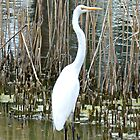 Great White Egret by TheaShutterbug