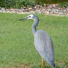 White Faced Heron by TheaShutterbug