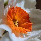 Orange Centered Daffodil by Ken Glotfelty