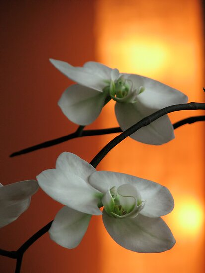 White Orchids by Aimee Stewart