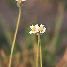 Little White Flower II by BengLim