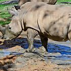 White Rhino by Mark Fendrick