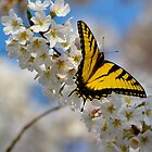 Butterfly and a cherry tree by Sue McGlothlin
