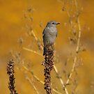 Mountain Blue Bird. by mikepemberton
