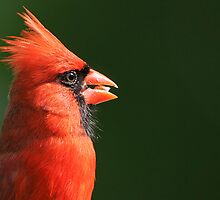 Cardinal Profile by Bonnie T.  Barry
