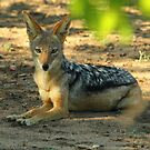 Black backed jackal by Dan MacKenzie