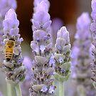 Lavender Fields by Gabrielle  Lees